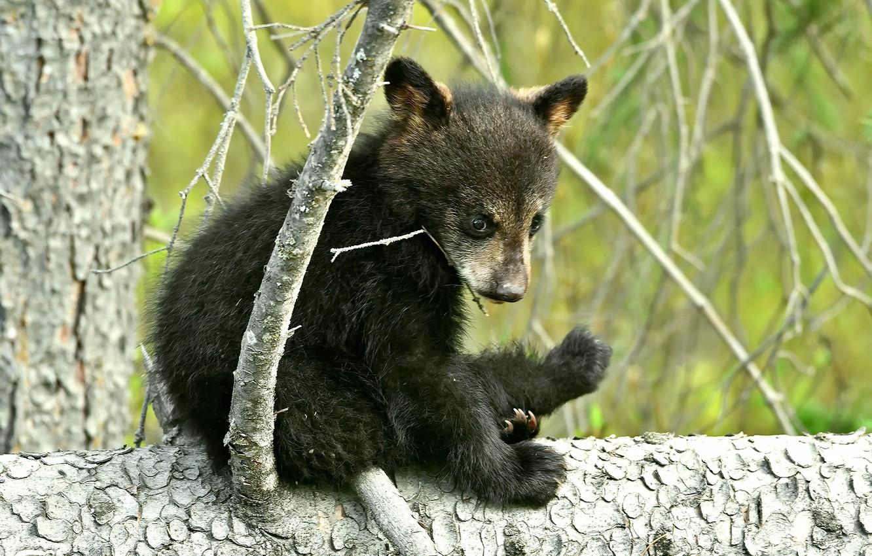 Фото обои лес, природа, мишка, медвежонок