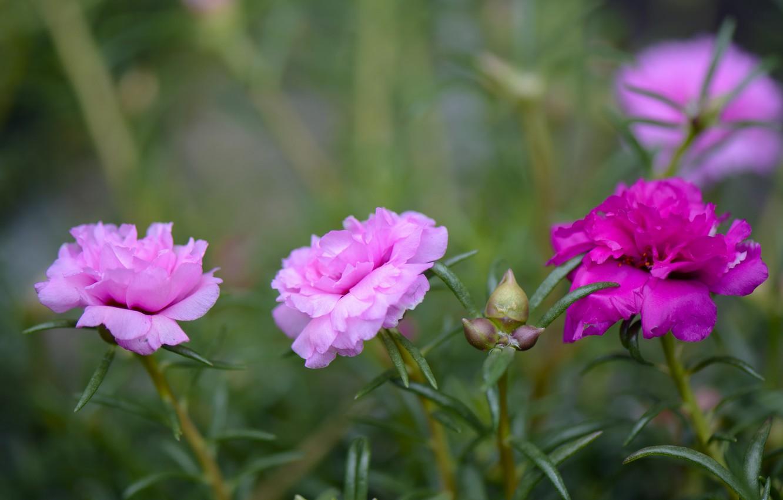 Фото обои лепестки, бутон, цветение, Портулак