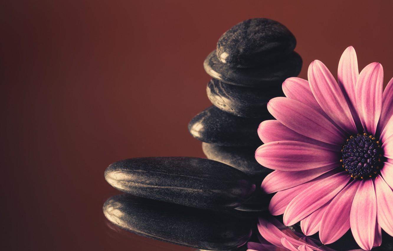 Фото обои камни, colorful, flowers, гербера, purple, gerbera
