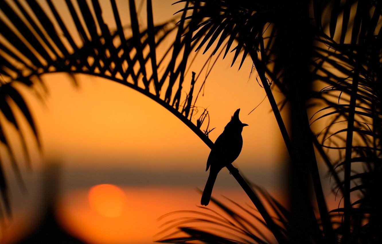 Фото обои листья, закат, птица, силуэт, Краснощёкий настоящий бюльбюль