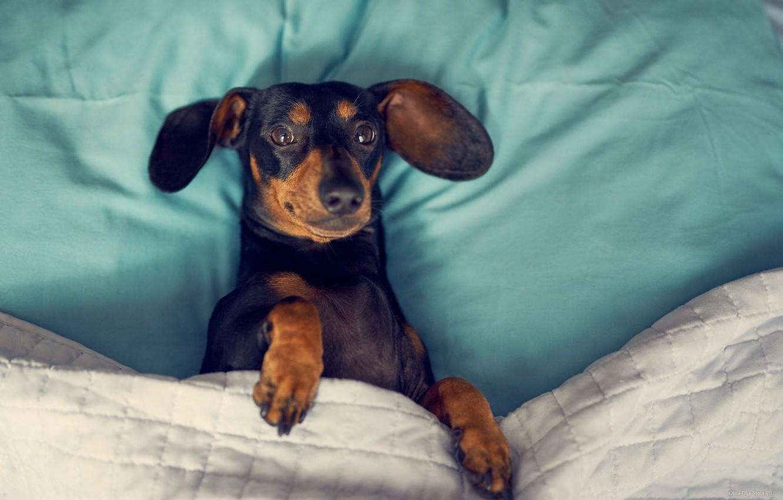 Фото обои кровать, Собака, такса, собака в кровати