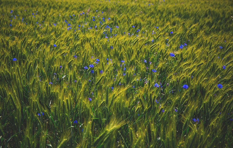 Васильки в пшенице картинки
