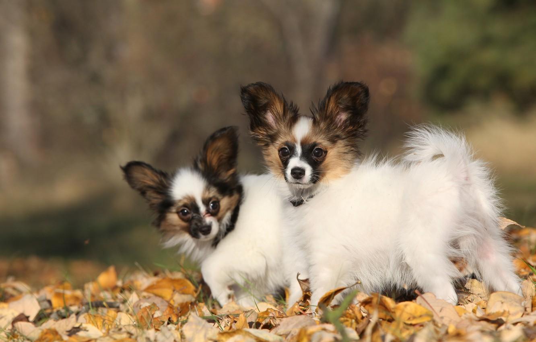 Фото обои осень, собаки, листья