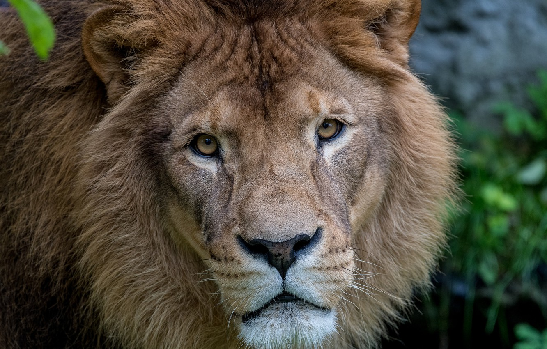 Обои лев, морда, животное. Животные foto 11