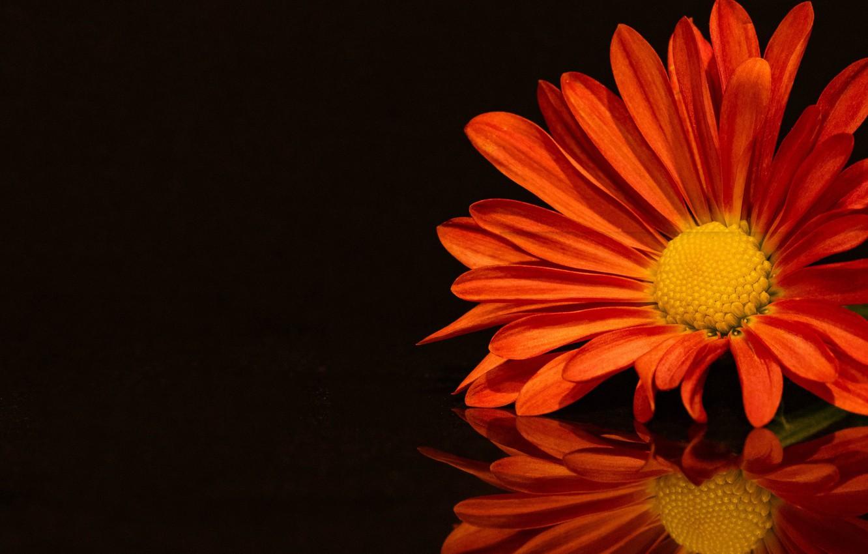 Фото обои цветок, отражение, лепестки