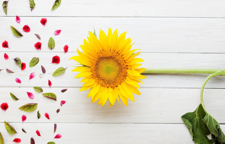 Фото обои цветы, подсолнух, лепестки, листики