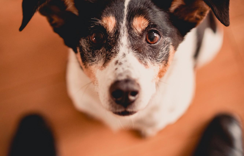 Фото обои взгляд, морда, собака, ботинки, уши, Джек-рассел-терьер