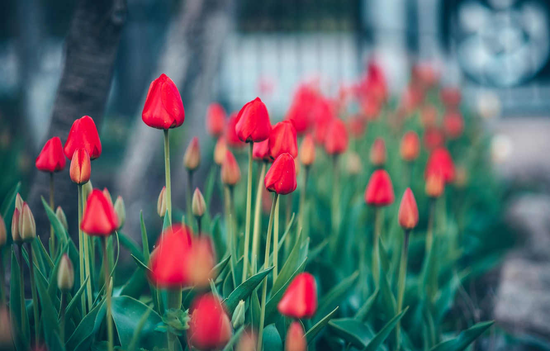 Фото обои цветы, природа, тюльпаны