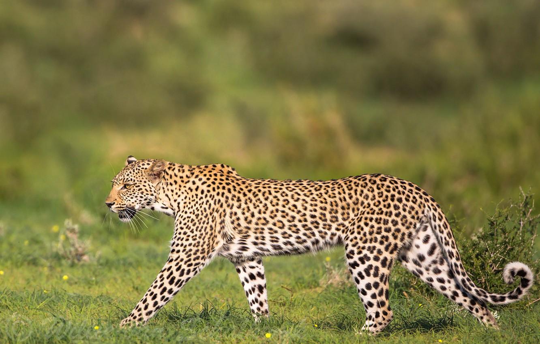 Фото обои леопард, грация, дикая кошка