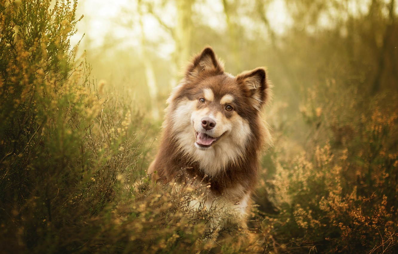Обои Собака, Финский лаппхунд, морда. Собаки foto 12