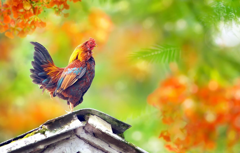 Фото обои яркий, птица, петух