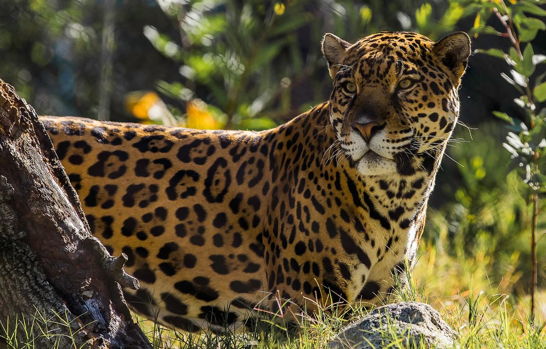 Фото обои Ягуар, дикая кошка, красавец