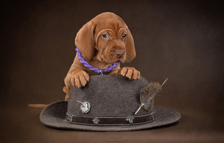 Фото обои фон, собака, шляпа, щенок, Венгерская выжла