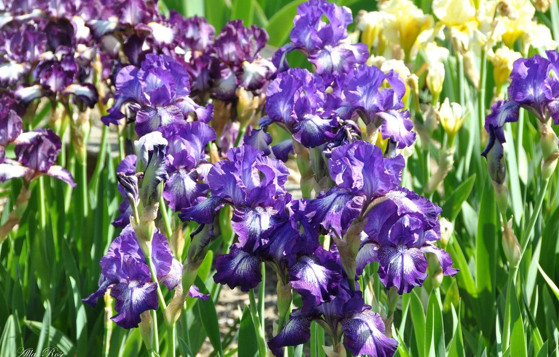 Фото обои цветы, красота, весна, май, ирисы, флора