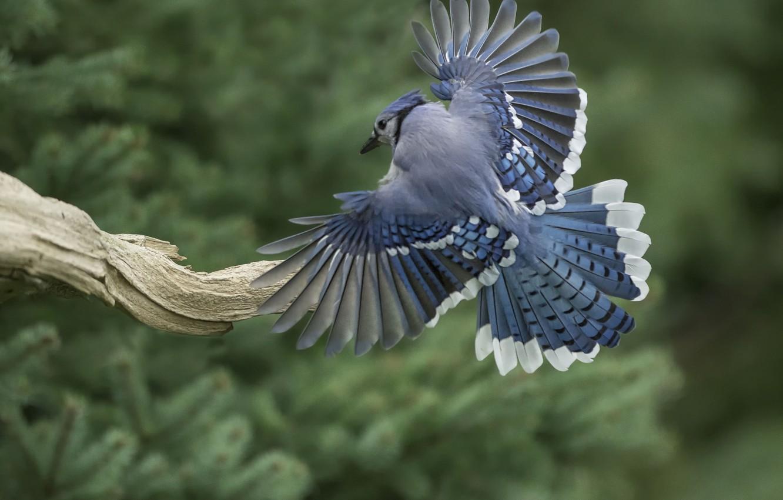 постоянной птица с голубыми крыльями картинки новый
