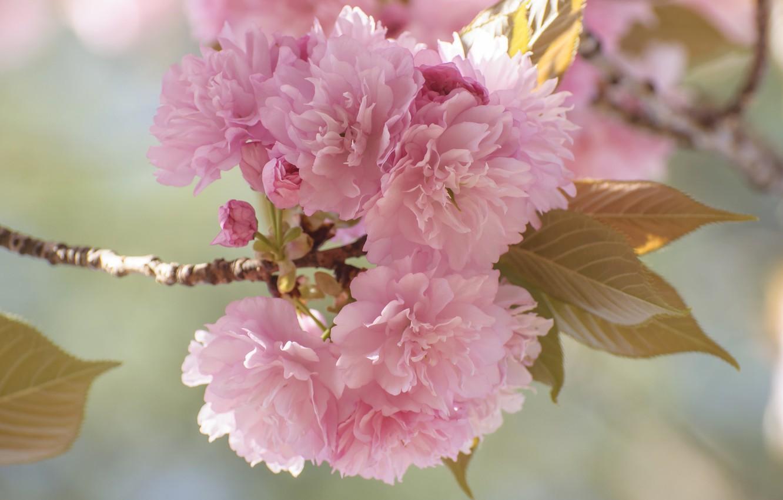 Фото обои цветы, ветка, весна, сад, сакура