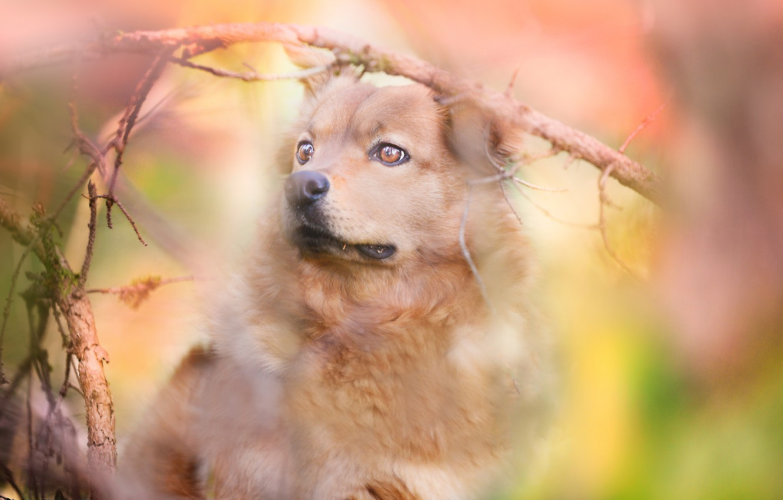 Фото обои взгляд, морда, ветки, портрет, собака, боке