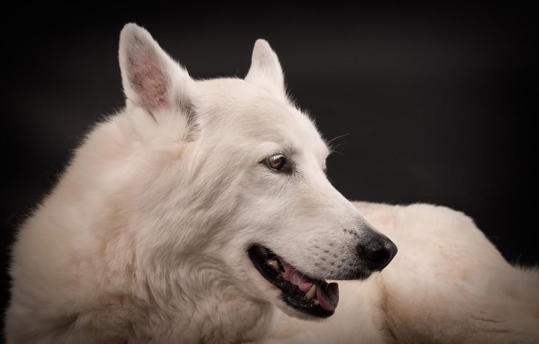 Фото обои морда, портрет, собака, белая, чёрный фон