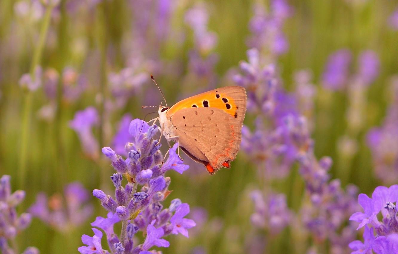 Фото обои Макро, Бабочка, Лаванда, Lavender, Macro, Butterfly