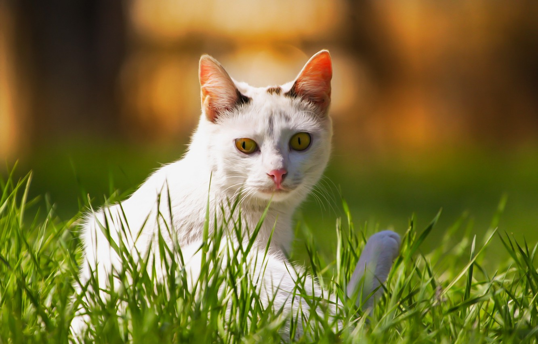 Фото обои кошка, фон, травка