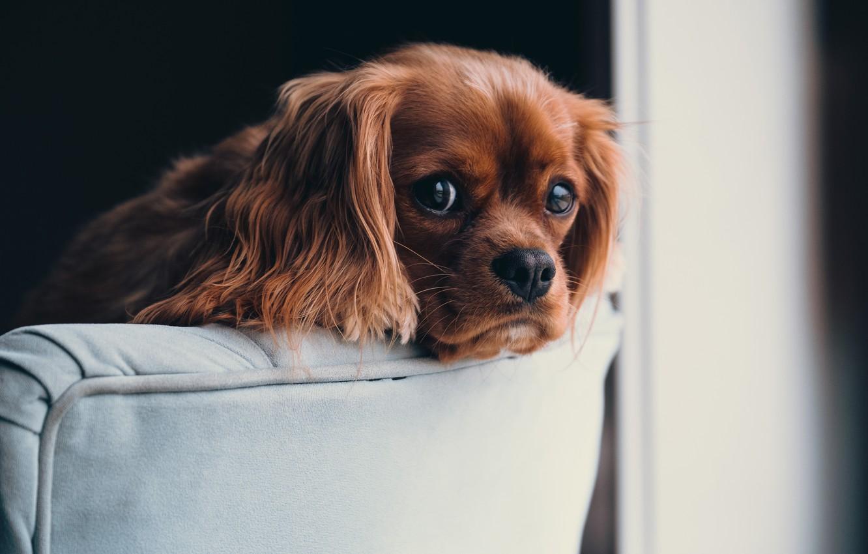 Фото обои взгляд, собака, рыжая, уши