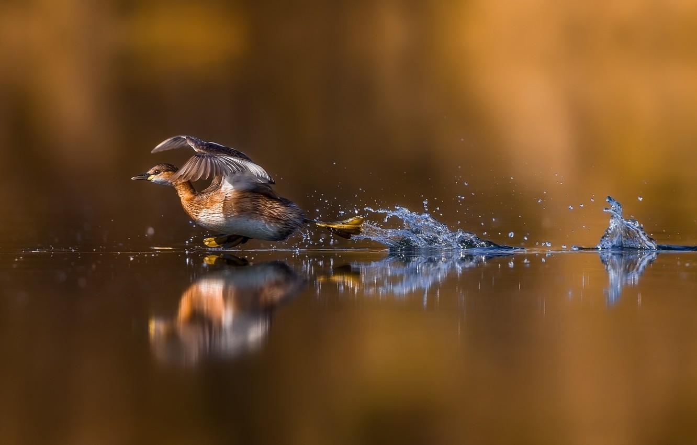 Фото обои вода, отражение, утка, пробежка