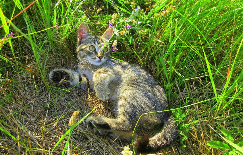 Фото обои лето, трава, кот, луг, котёнок, киса, котейка, Meduzanol ©