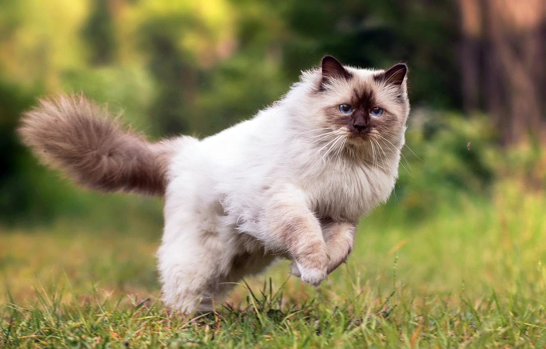 Фото обои кошка, лето, трава, пушистая