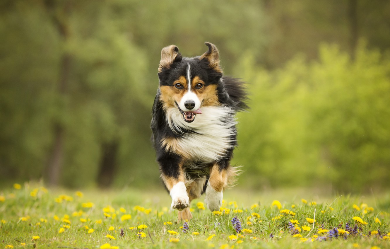 Фото обои цветы, собака, луг, бег, прогулка