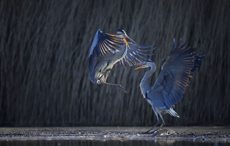 Фото обои крылья, танцы, цапля, цапли