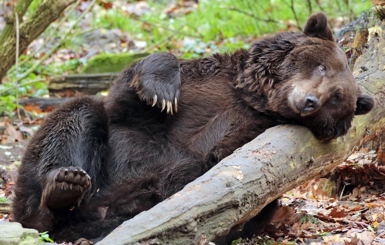себе забавные фото бурого медведя теперь