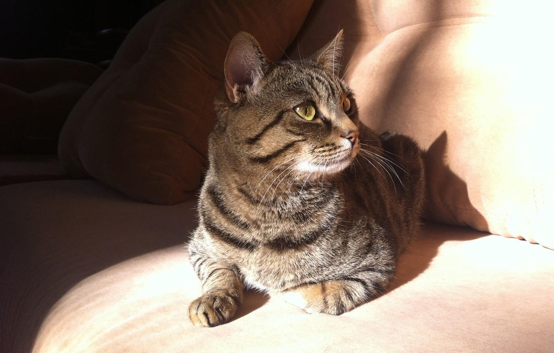 Фото обои животные, кот, солнце