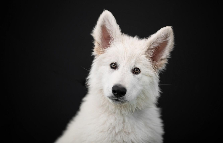 Фото обои взгляд, морда, портрет, собака, щенок, уши, чёрный фон, Белая швейцарская овчарка