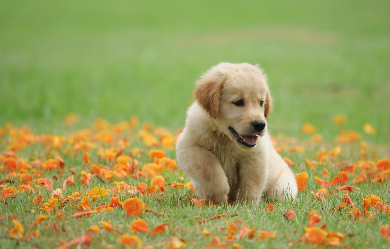 Фото обои трава, цветы, парк, милый, щенок, golden, лужайка, puppy, dog, park, ретривер, cute, retriever