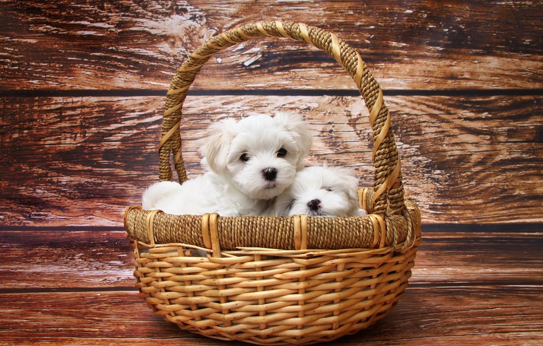 Фото обои белый, корзина, щенки, болонка