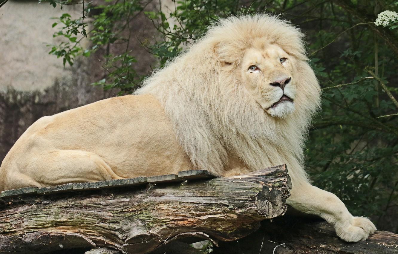 Картинки лев белый
