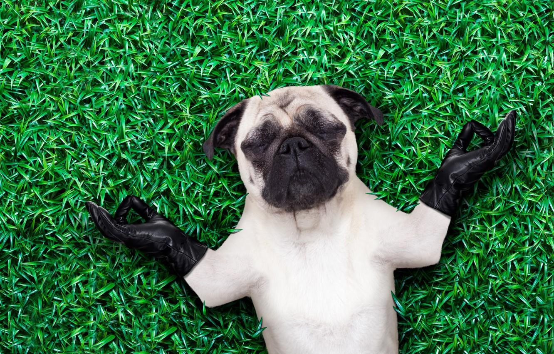 Обои Собака, grass, animals. Собаки foto 17