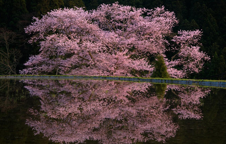 Фото обои весна, дервья, цветы весна, Comyu Matsuoka