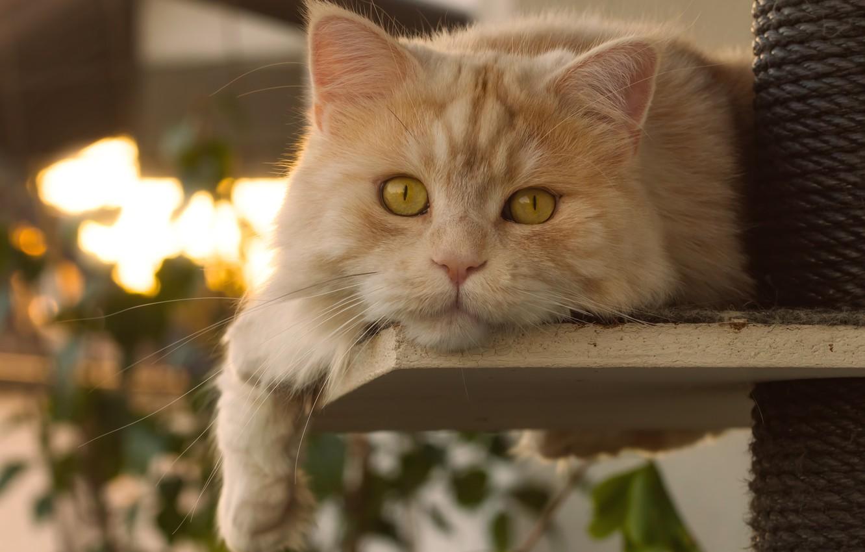 Фото обои кот, взгляд, мордочка, рыжий кот