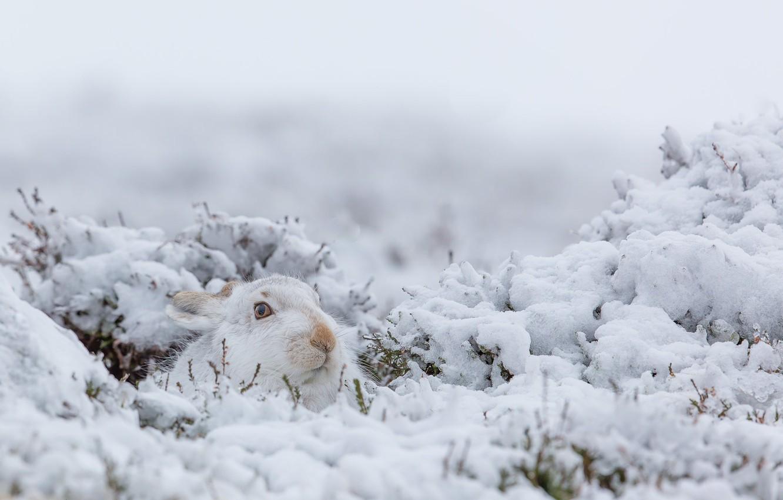 Фото обои зима, снег, природа, кролик