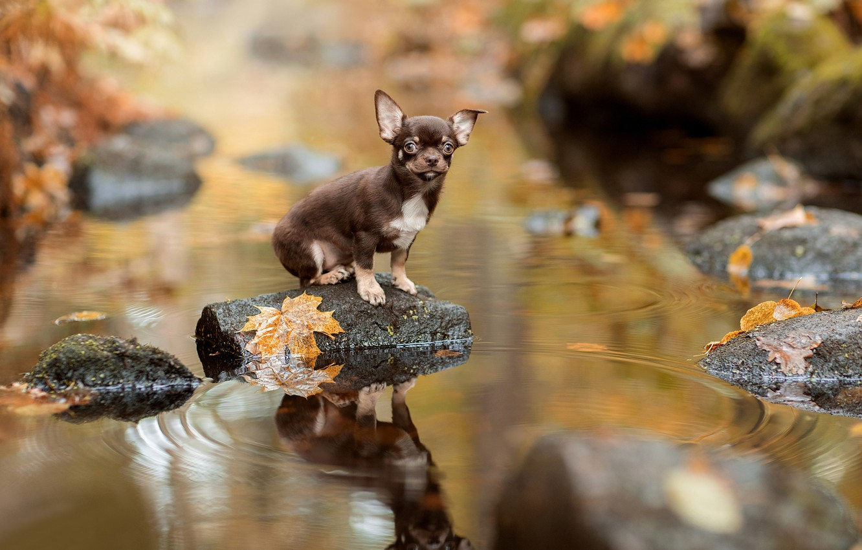 Фото обои осень, листья, вода, отражение, камни, пёсик, Чихуахуа, собачонка