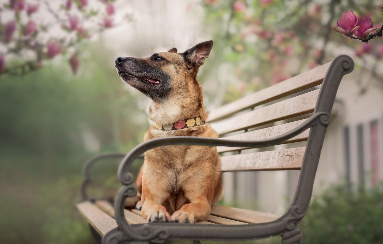 Фото обои природа, собака, скамья
