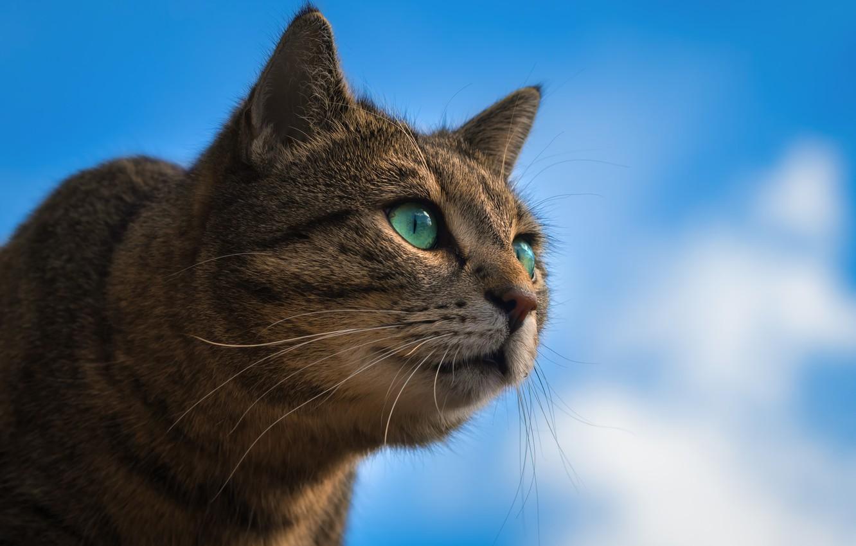 Фото обои небо, кот, взгляд, портрет, мордочка, котейка