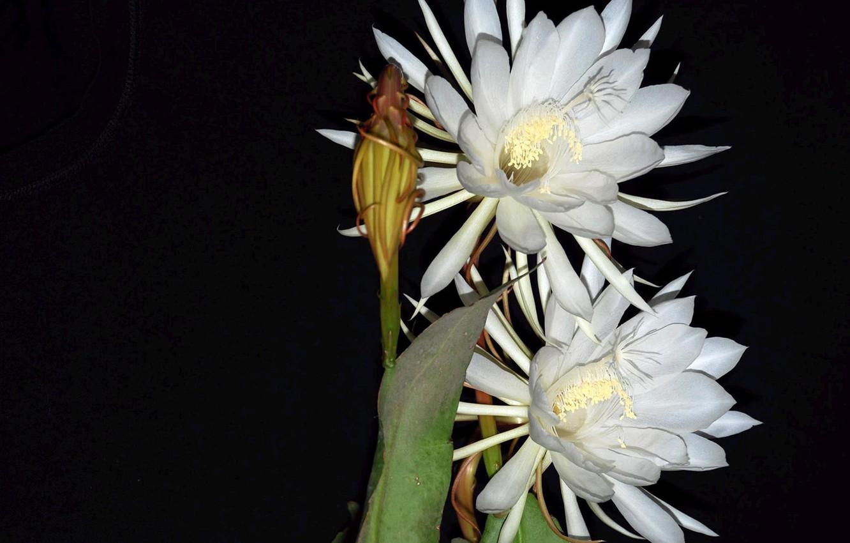 Фото обои лепестки, бутон, тычинки, черный фон, экзотика, картинка, белые цветы, свет и тень
