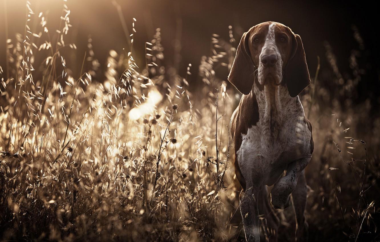 Фото обои трава, взгляд, собака