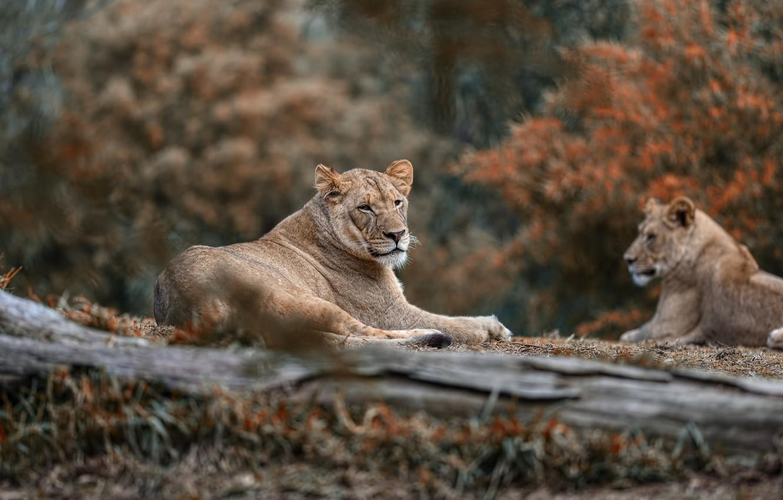 Фото обои природа, отдых, пара, львы