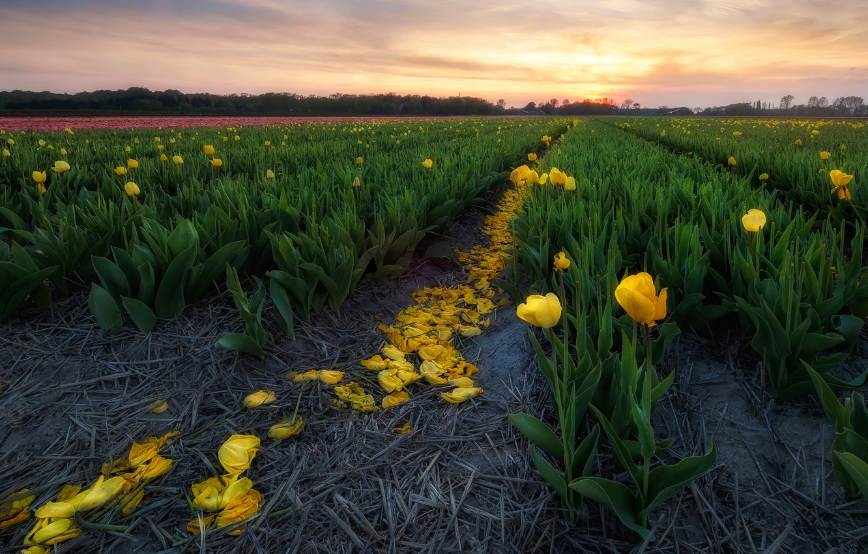 Фото обои поле, небо, закат, цветы, желтые, тюльпаны, ряды, плантация