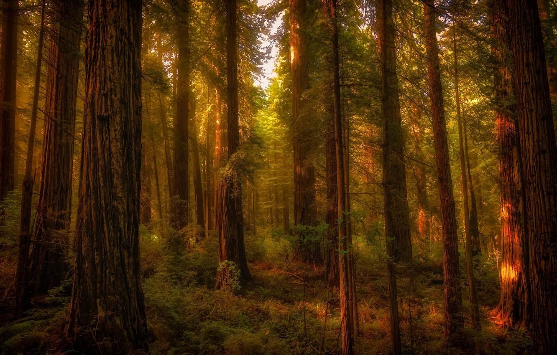 Фото обои лес, деревья, пейзаж, природа, стволы