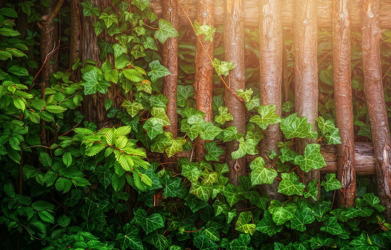 Фото обои листья, ветки, забор, обработка, Плющ
