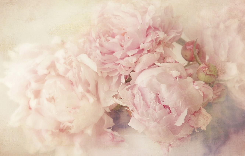 Фото обои цветы, фон, светлый, лепестки, арт, бутоны, нежно, размыто, пионы, пастельные тона, художественная обработка